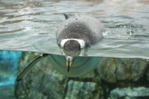 Bild tauchender Pinguin